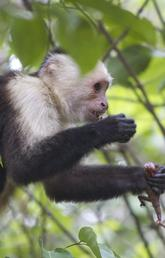 Capuchin mother and infant